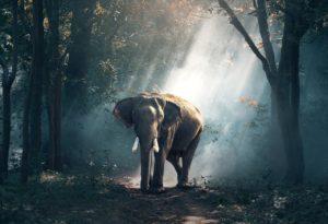 Elefant i Thailand